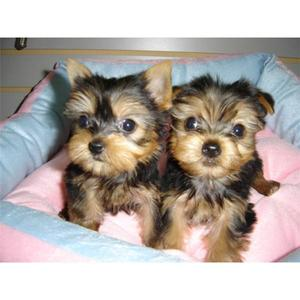 Dog Puppies For Sale In Los Angeles