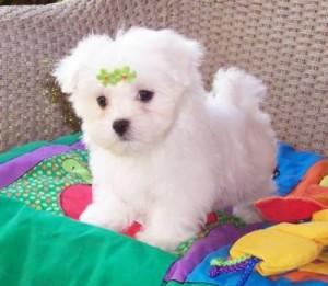 La Adorable X Mas Teacup Maltese Puppies For Adoption